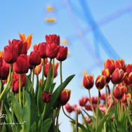 Tulips and Ferris Wheel